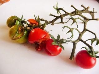 食べまきトマト2014 なめくじに喰われる